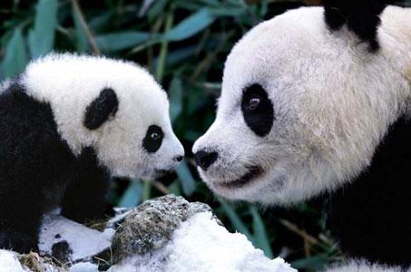 Pandas-Poster