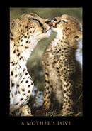A Mother's Love Leopards Poster