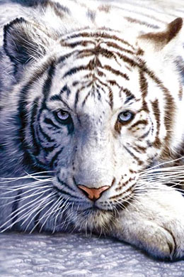 White Tiger Click Add to Cart to Order