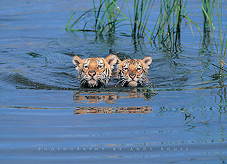 Tiger Cubs Swimming Click Add to Cart to Order