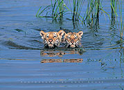 Tiger Cubs Swimming Poster