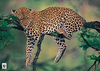 Sleeping-Leopard-Poster