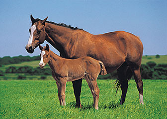 Horse and Foal Poster