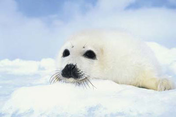 Baby Seal Cub Poster
