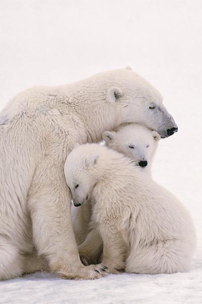 Polar-Bears-Poster