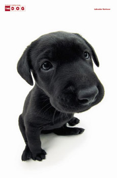 The Dog Labrador Poster