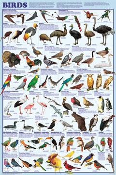 Birds-Poster