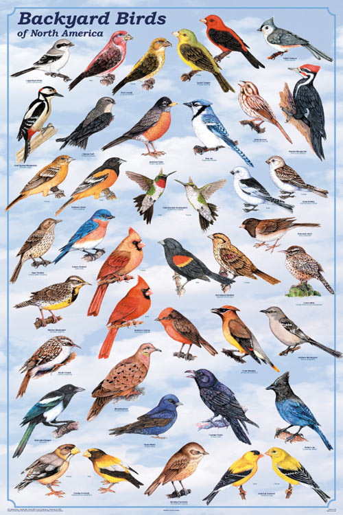 Backyard Birds Poster