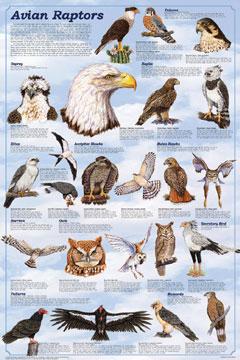 Avian-Raptors-Poster