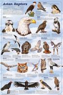 Avian Raptors, Poster