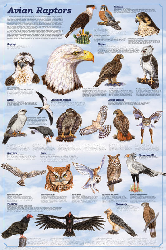 Avian Raptors Poster