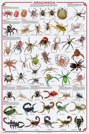 Arachnida-Spiders-Poster