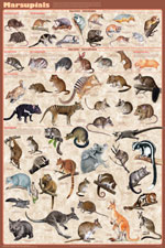 Marsupials Educational Poster