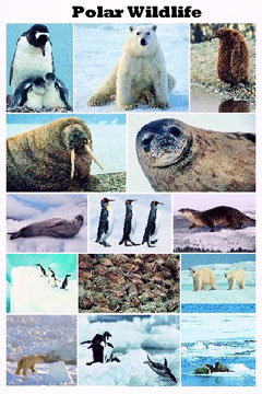 Polar-Wildlife-Poster