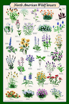 North-American-Wildflowers-Poster