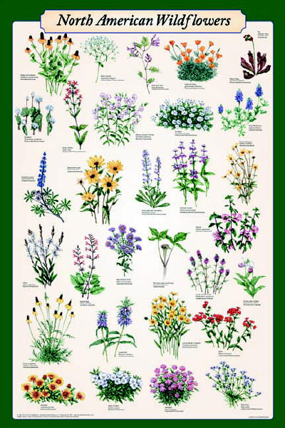 North American Wildflowers Poster