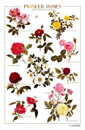 Pioneer-Roses-Poster